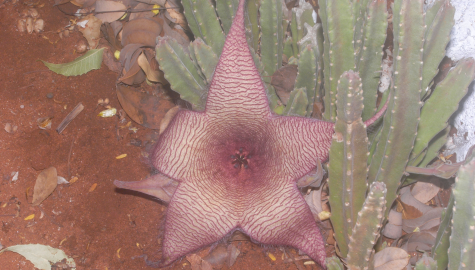 Stapelia sp. (Asclepiadaeae)